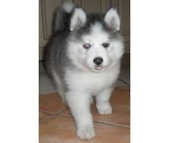 Chusky Puppy I Need One Oooooh Puppies Animals Funny Cute