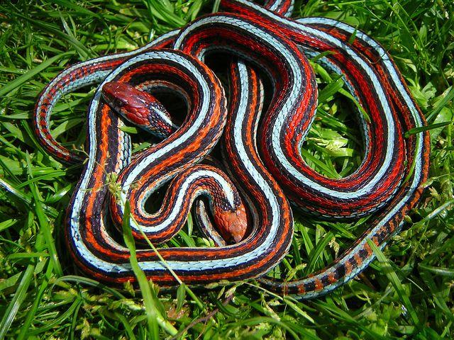 Mating Orange Male And Red Female San Francisco Garter Snake