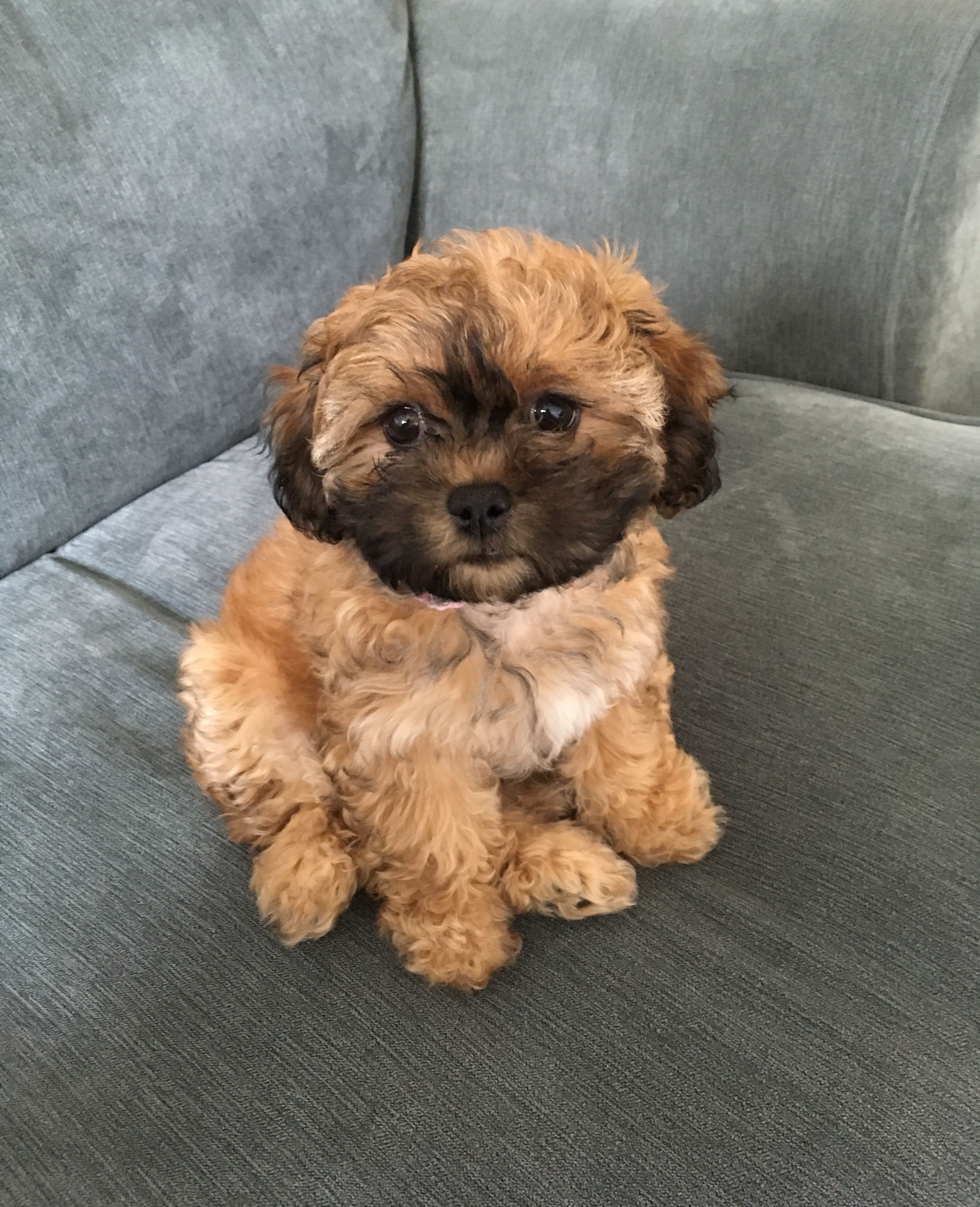 Meet Bowie Our New Teddy Bear Puppy Http Ift Tt 2lgihwi With