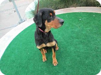 Chatsworth Ca Rottweiler Meet Kayla A Dog For Adoption Http