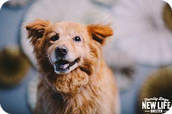 Chow Chow Golden Retriever Mix Dog For Adoption In Portland