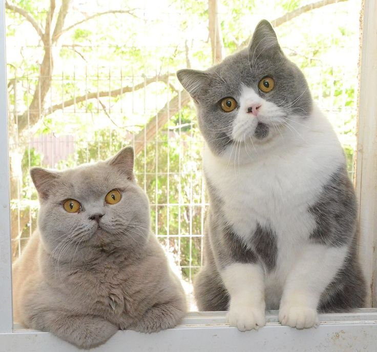 British Shorthair Cats Catssky Tap The Link Now To See All Of