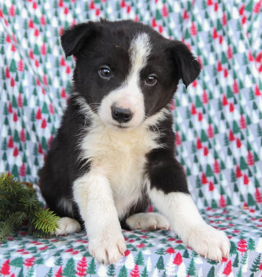 Patient Bordercollie In 2020 Dog Breeder Lancaster Puppies