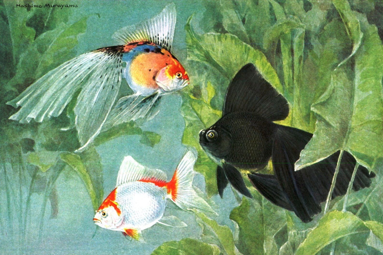 Pin by Taka Minami on Goldfish 金魚 Peixe Dourado 金鱼 Poisson rouge ...