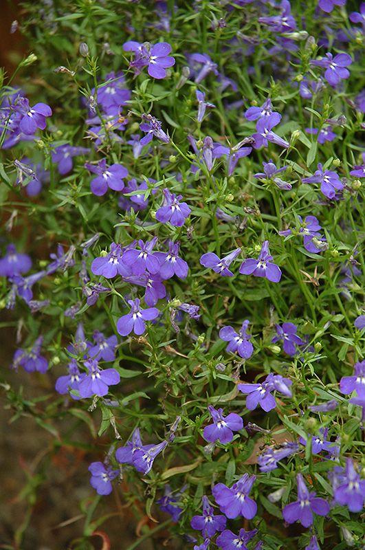 Techno Heat Blue Lobelia (Lobelia erinus 'Techno Heat Blue