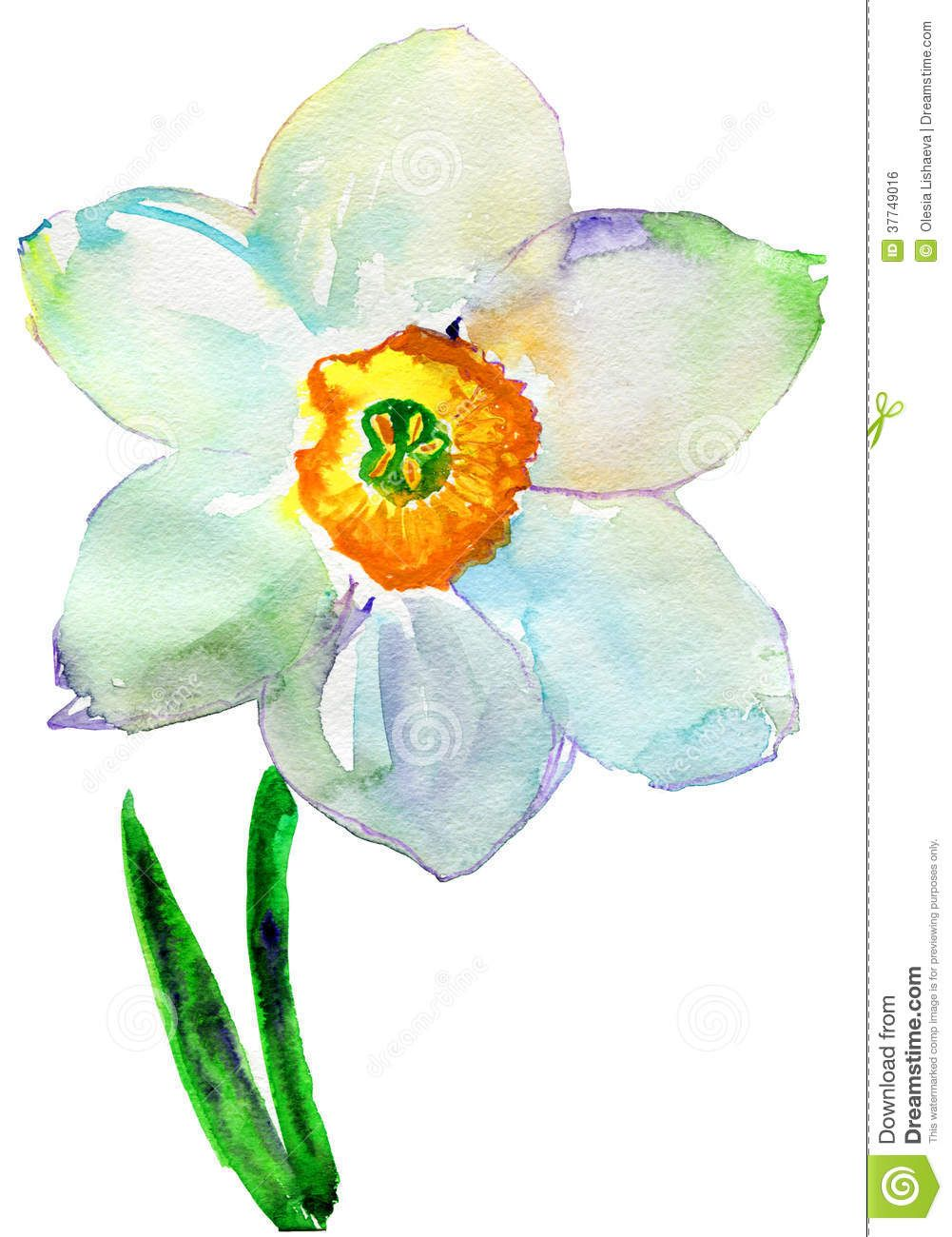 watercolor narcissus Watercolor illustration, Narcissus