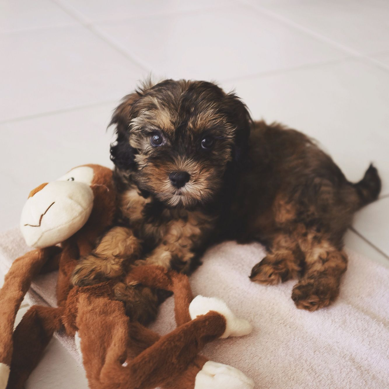 Billie The Sable Cavoodle Cavapoo Puppy Cavoodle Dog Cavapoo