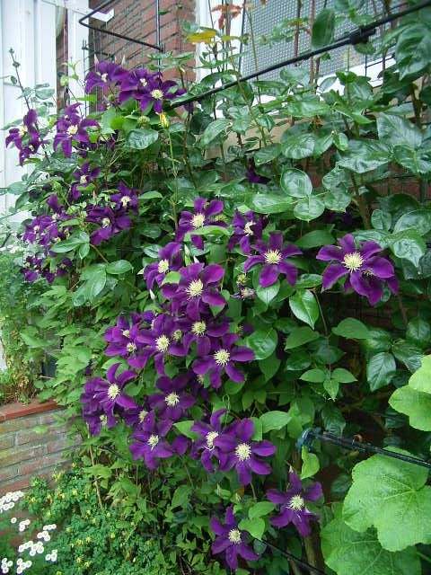 ab clematis 39 warszawska nike 39 kert pinterest clematis and gardens. Black Bedroom Furniture Sets. Home Design Ideas