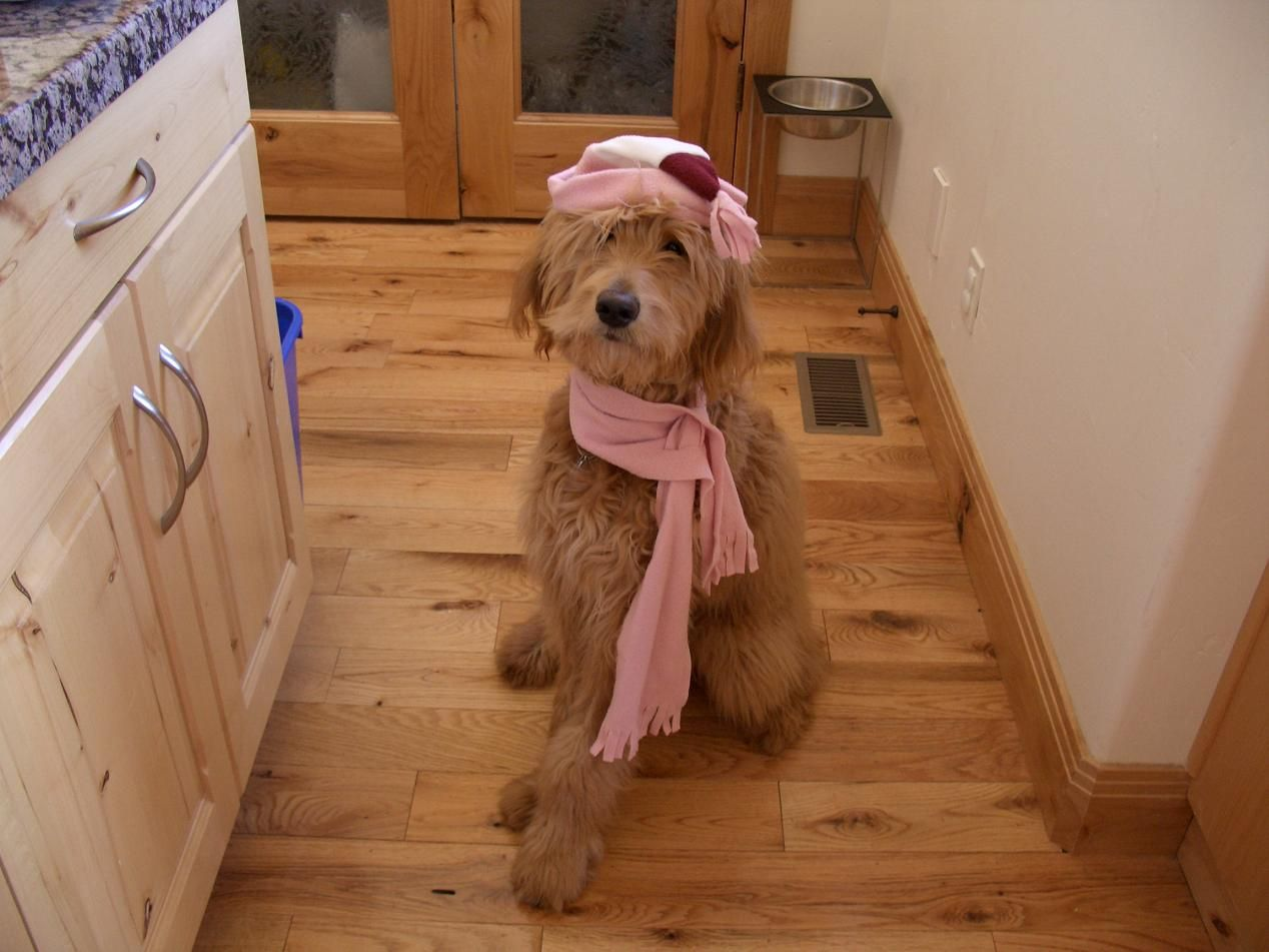 Goldendoodle Nala all dressed up and ready for a walk on a