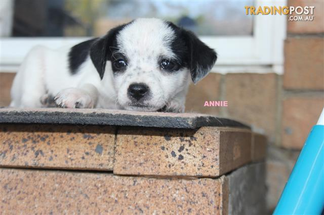 Pin By Ada L Wong On Bichon Frise In 2020 With Images Puppies Poochon Puppies Jack Russell Terrier Puppies