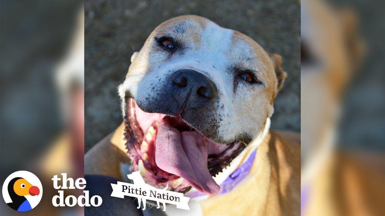 Senior Rescue Pittie Smiles So Much That She Sneezes The Dodo