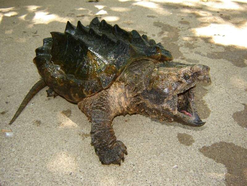 Alligator snapping turtle | Snapping Turtles | Alligator