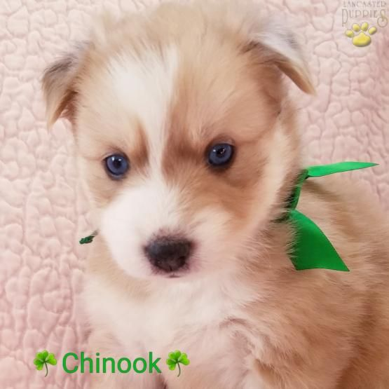 Chinook Pomsky Puppy for Sale in Port Huron, MI