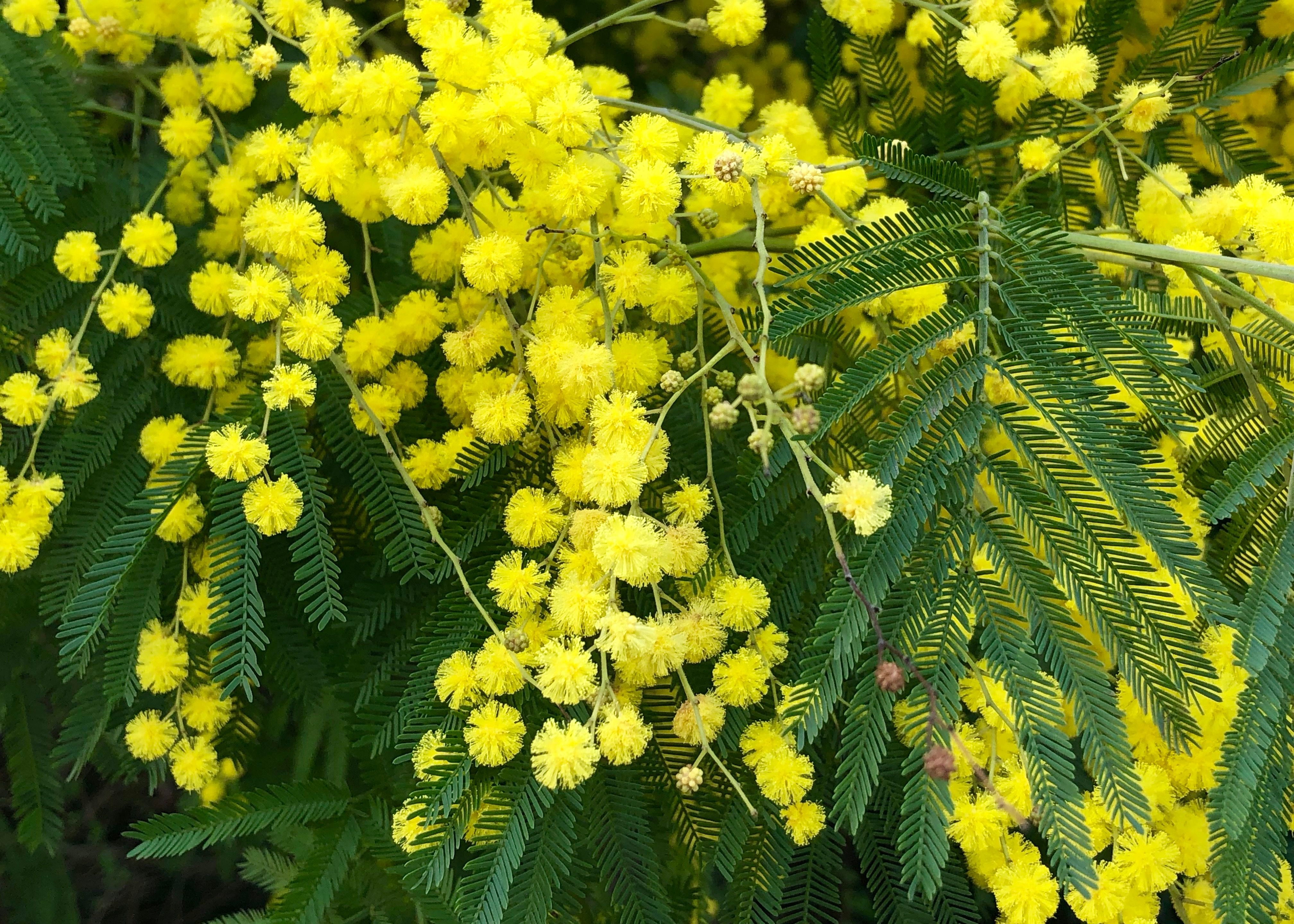 Acacia Dealbata Silver Wattle Or Mimosa Is A Winter Blooming