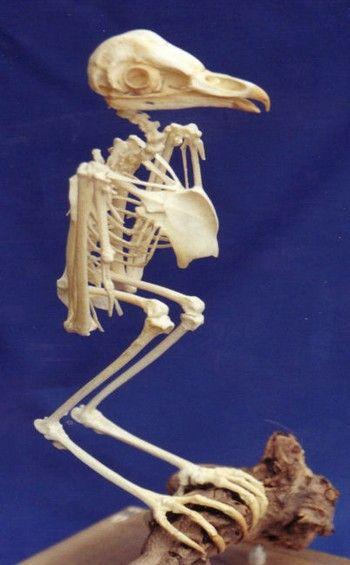 Barn Owl Complete Skeletons Replicas Models For Sale At