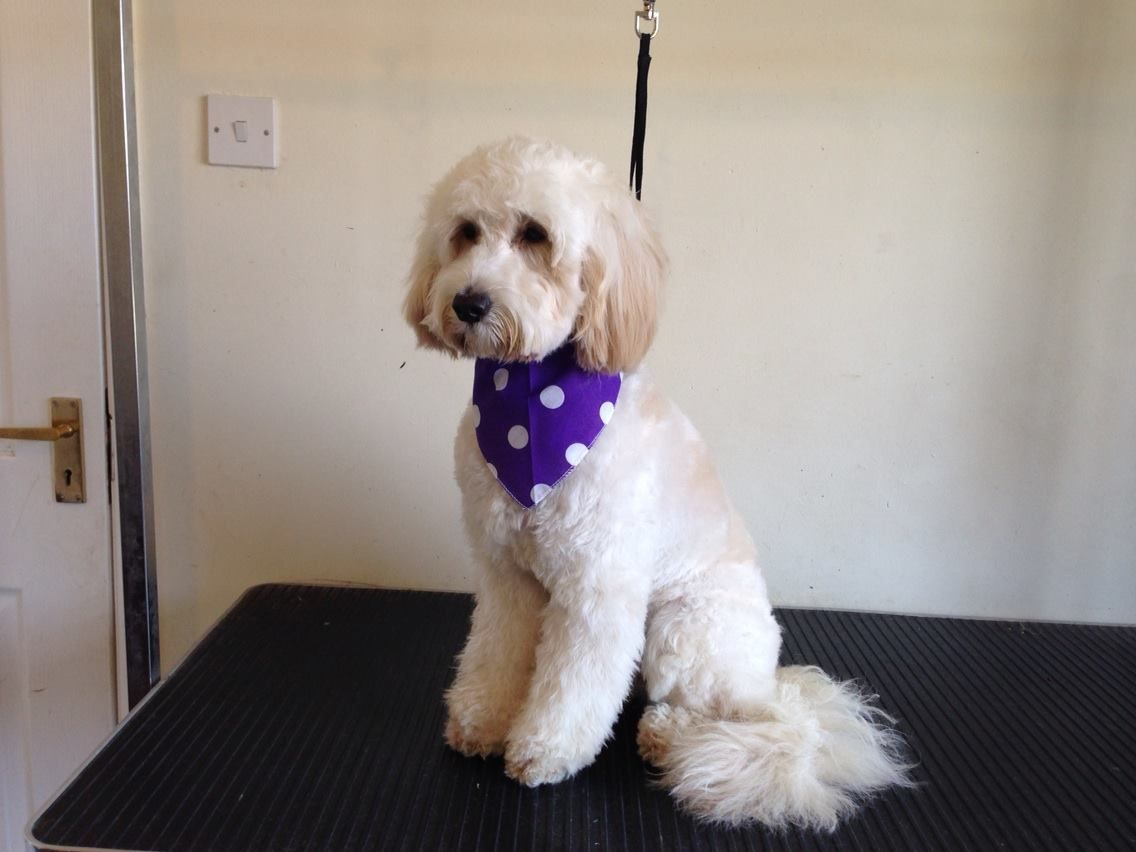 Lily the cockerpoo at scruff busters dog grooming verwood dog lily the cockerpoo at scruff busters dog grooming verwood solutioingenieria Choice Image