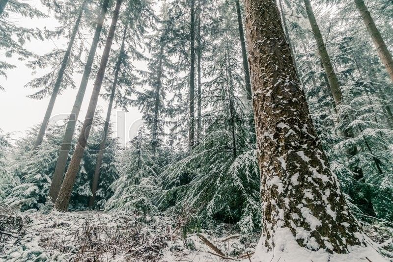 Snow On Pine Trees In A Forest In Scandinavia Stock Photo Colourbox On Colourbox Outdoor Tree Image