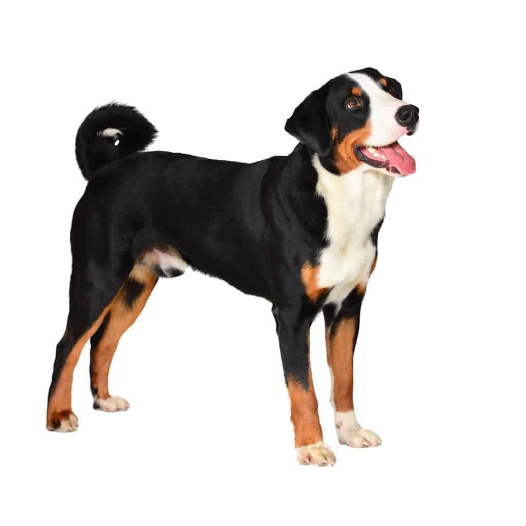 Appenzeller Sennenhund Charakter Wesen Pflege Con Imagenes Razas De Perros Perros