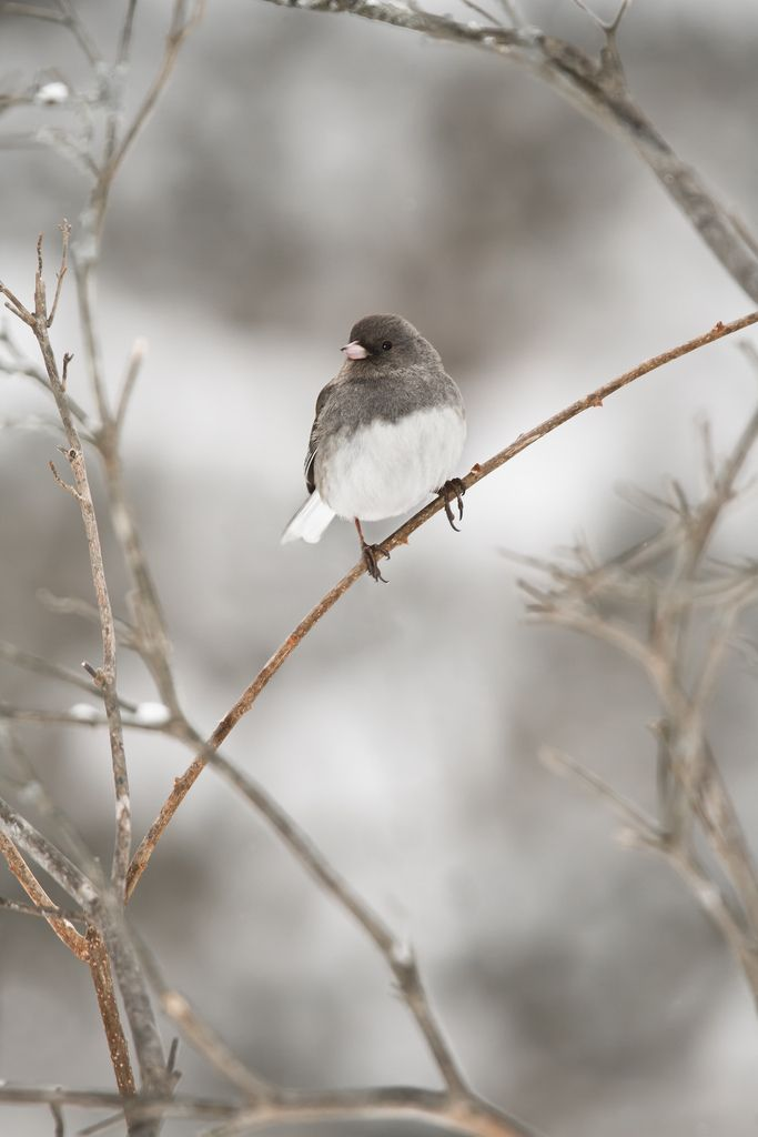 Dark-eyed Junco. We have these at our feeder all winter long!