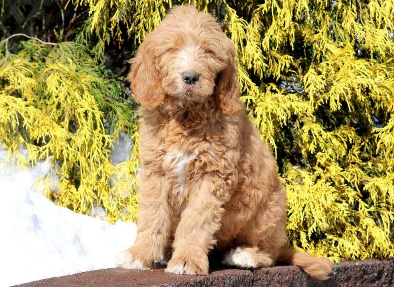 Goldendoodle puppy for sale in MOUNT JOY, PA. ADN71335 on