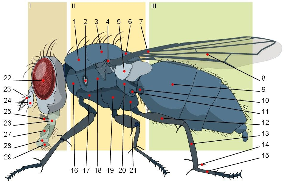 Fly Anatomy Diagram Introduction To Electrical Wiring Diagrams