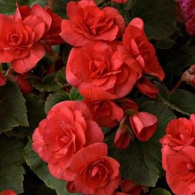 Begonia Double Dark Red Flower Seeds Under The Sun Seeds White