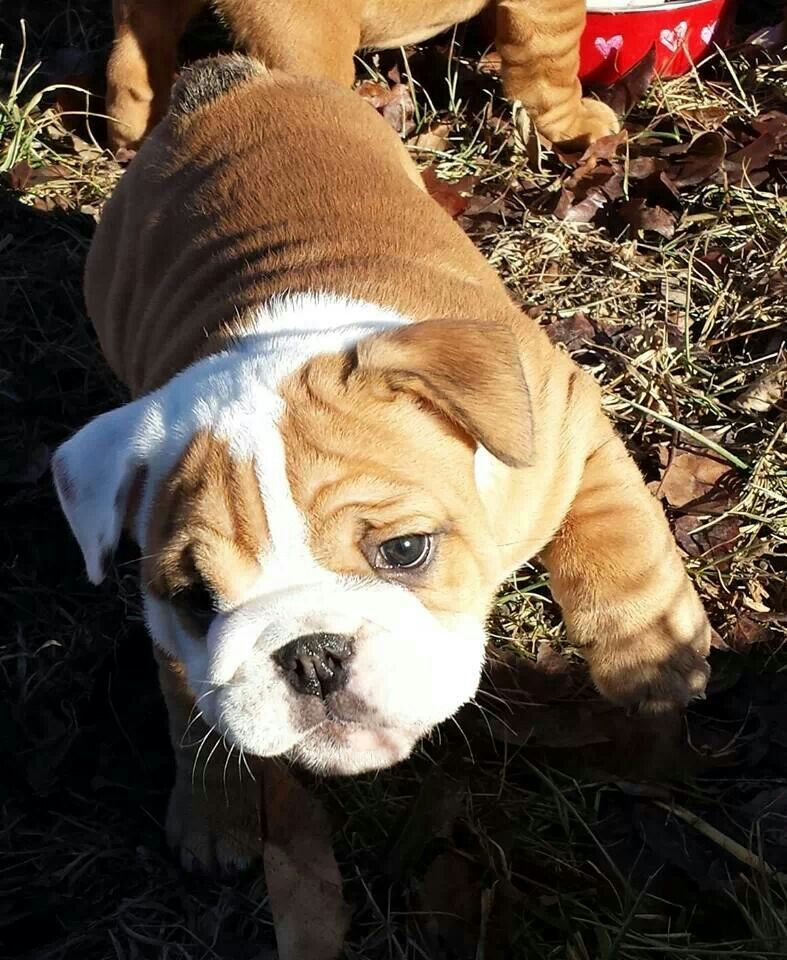 Trotting Around First Time Outside English Bulldog Puppy Www