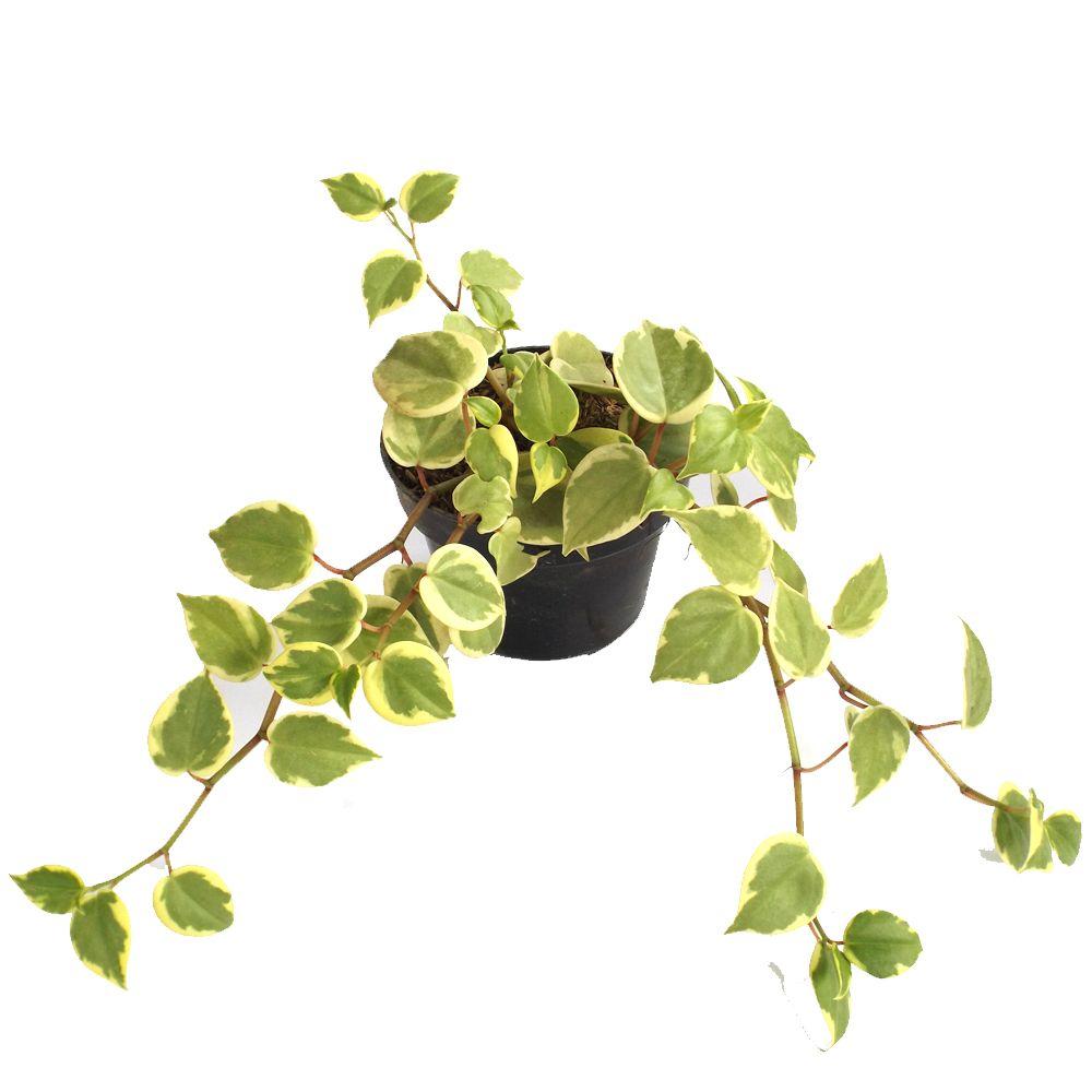 planta peperomia scadens