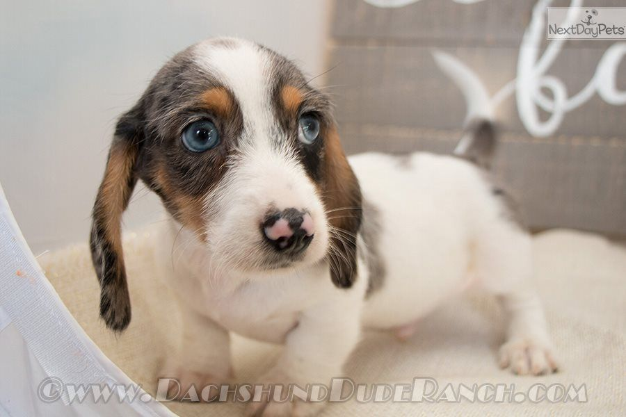 Prince Dachshund Puppy For Sale Near San Antonio Texas