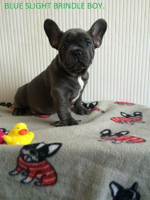 French Bulldog Puppies For Sale In Manchester Lancashire