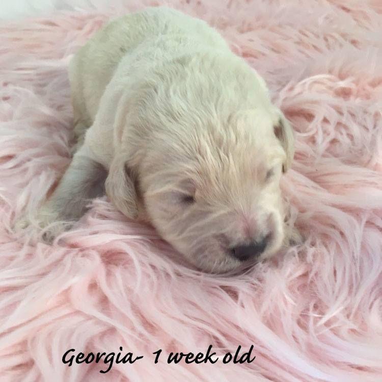 Litter Of 15 Goldendoodle Puppies For Sale In Demopolis Al Adn