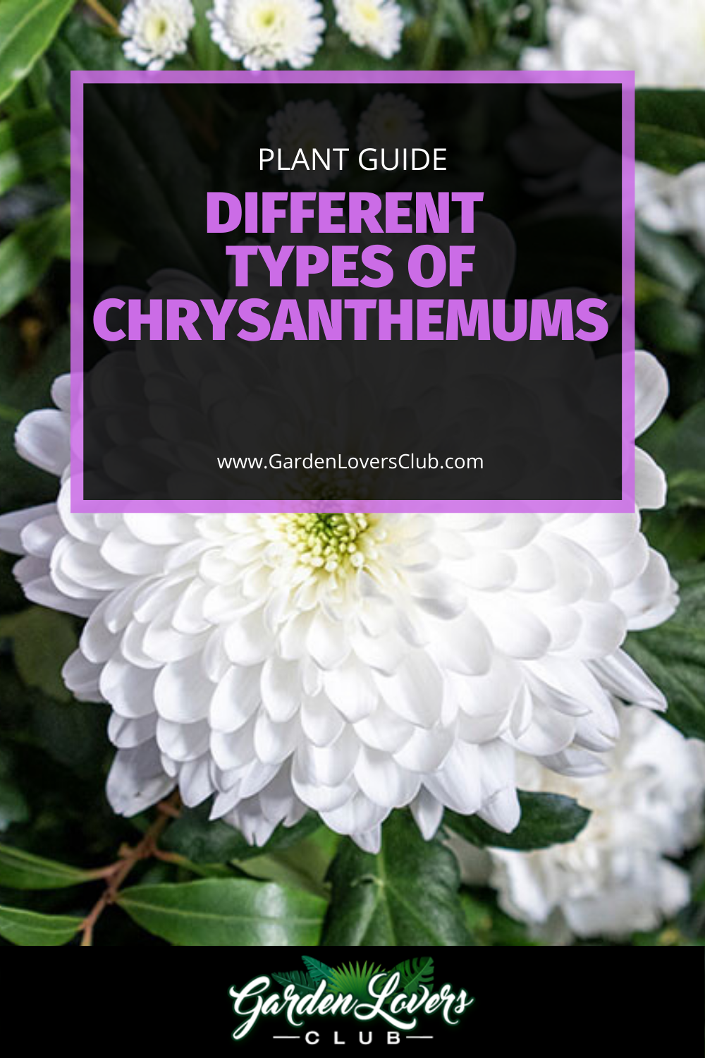 The Different Types Of Chrysanthemums In 2020 Most Popular Flowers Chrysanthemum Chrysanthemum Growing