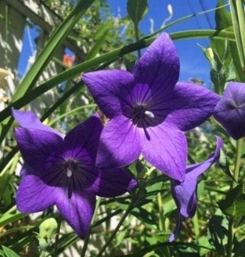 Ballon flower 'Sentimental Blue'