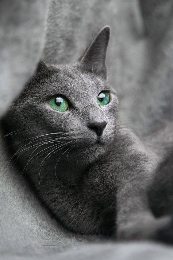 Blue Grey Cat With Green Eyes Russian Blue Cat Russian Blue