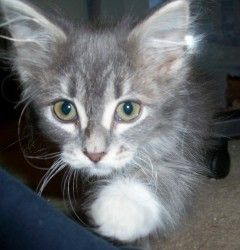 Jellico Is An Adoptable Domestic Medium Hair Gray And White Cat In Plymouth Mn Jellico Jellico Is An Act Grey And White Cat Cats And Kittens Cat Adoption