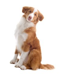 Nova Scotia Duck Tolling Retriever Chien Chien Retriever Races De Chiens
