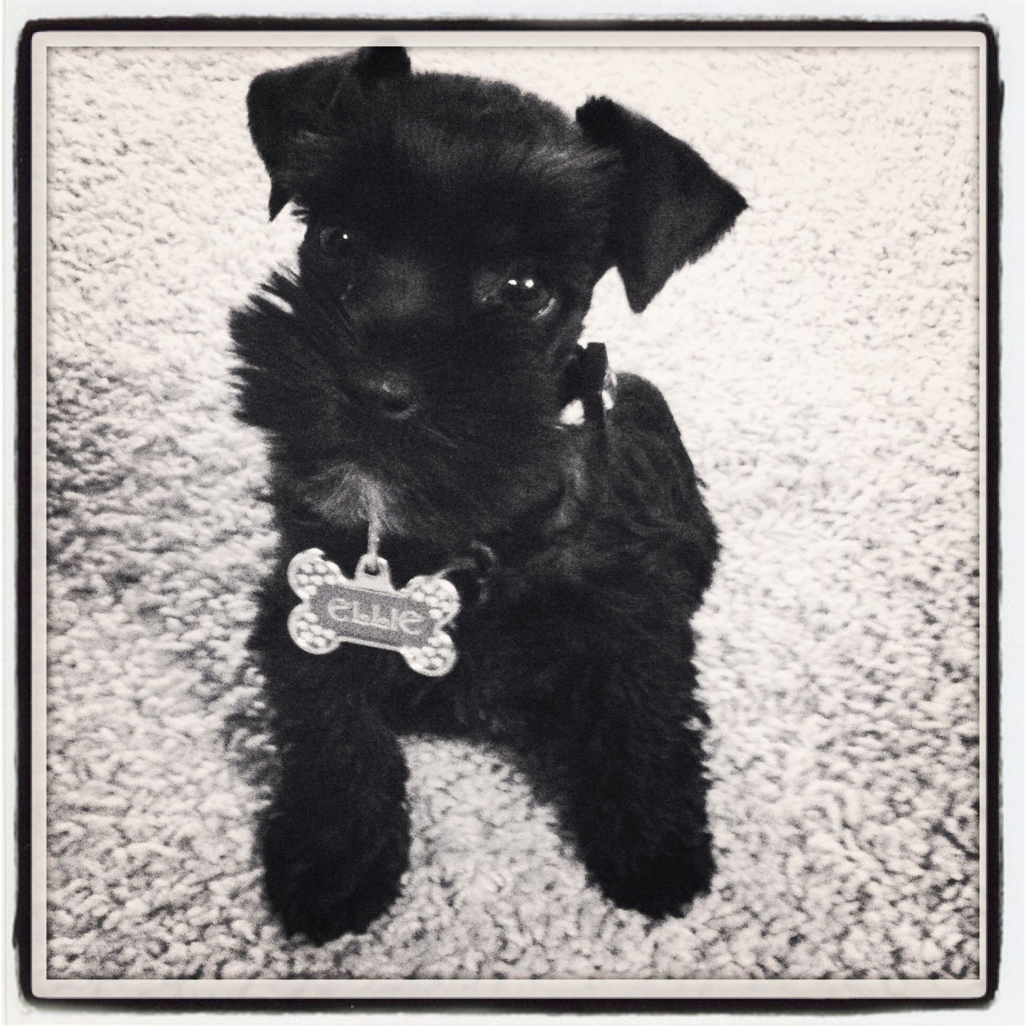 Ellie!! Toy Schnauzer. 8 weeks ALL I WANT for CHRISTMAS ...