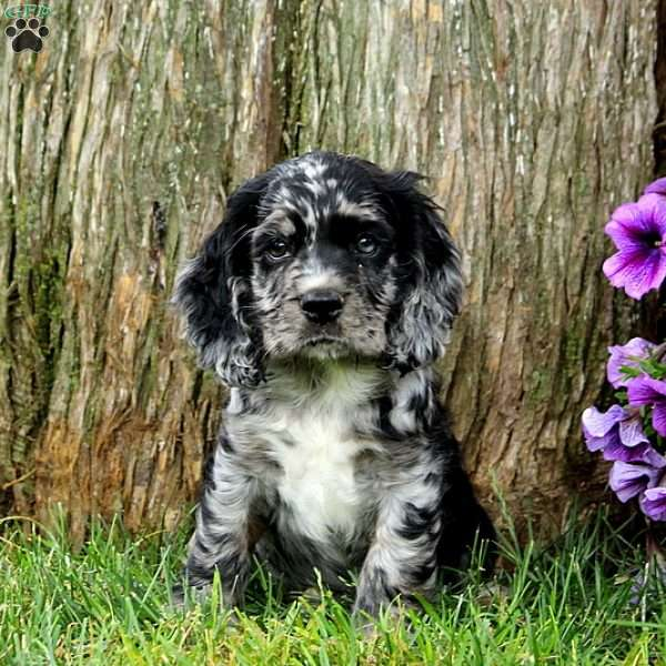 Spotty A Pekingese Puppy For Sale From East Earl Pa Cocker Spaniel Puppies Spaniel Puppies Spaniel Puppies For Sale