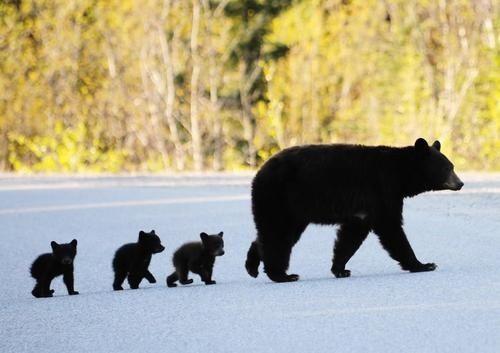 Funny Dumb Stuff |Funny Black Bear Family