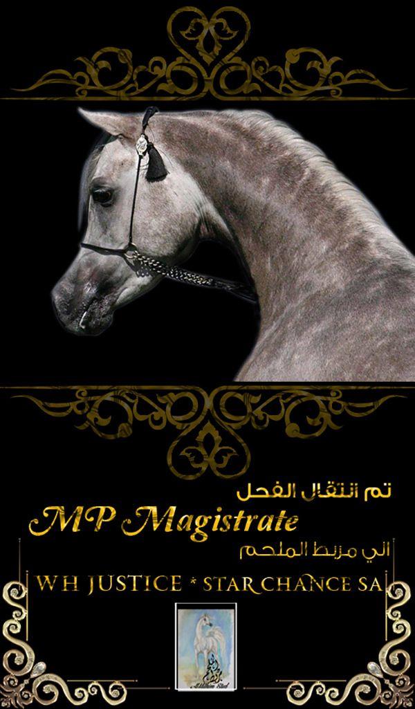 الفحل ام بي ماجستريت إلى مربط الملحم Arabian Horse Arabians Equines