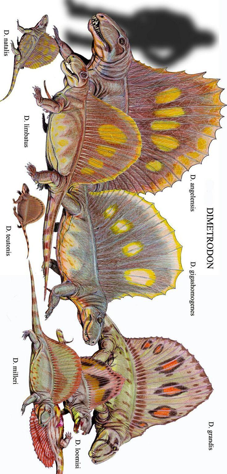 Restoration of various Dimetrodon species to scale