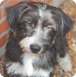 Tibetan Terrier Border Collie Mix Unique Dog Breeds Bearded Collie Collie