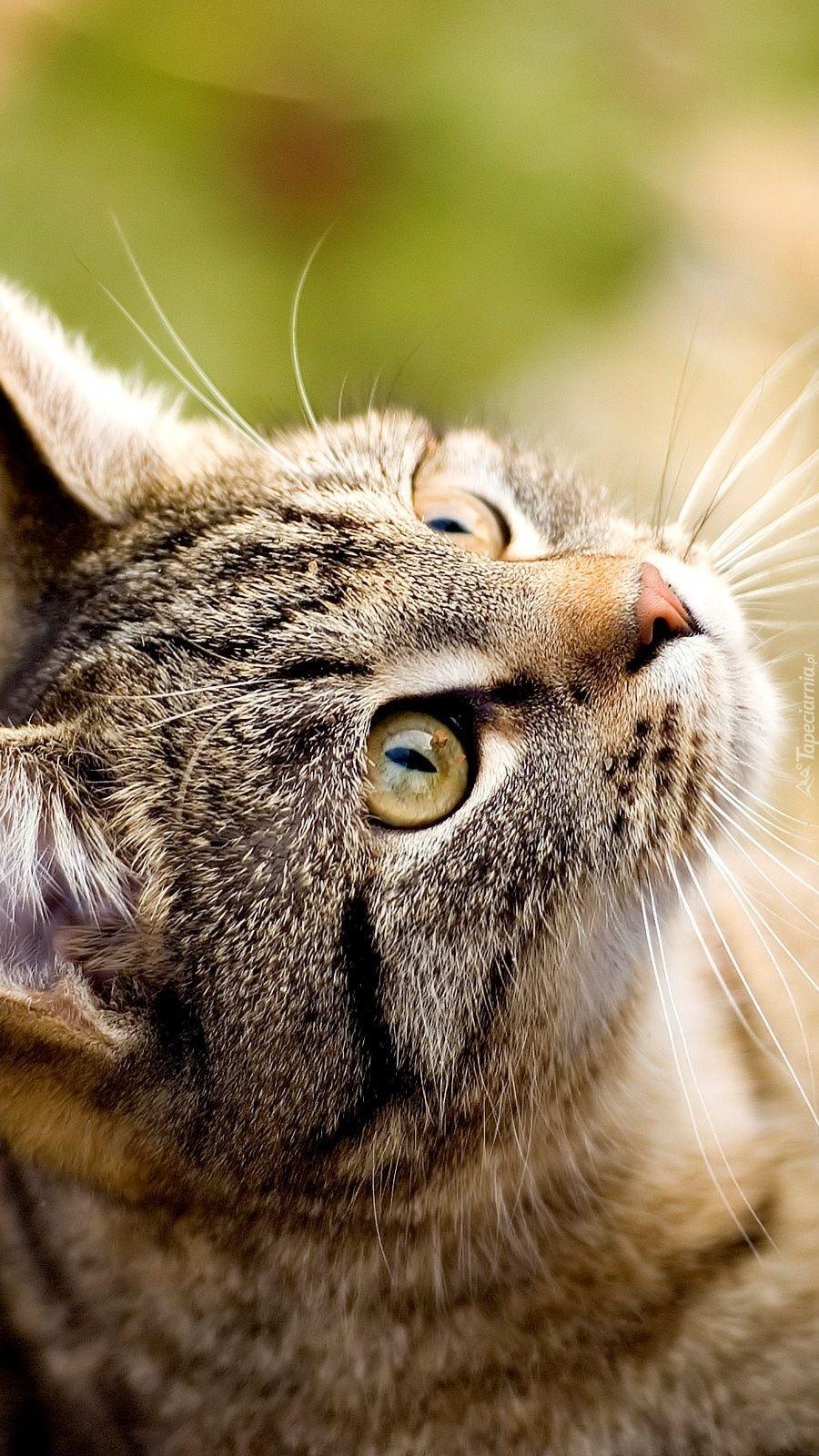 Szarego Kotka Chats Tabby Chatons Tigres Chat Tigre