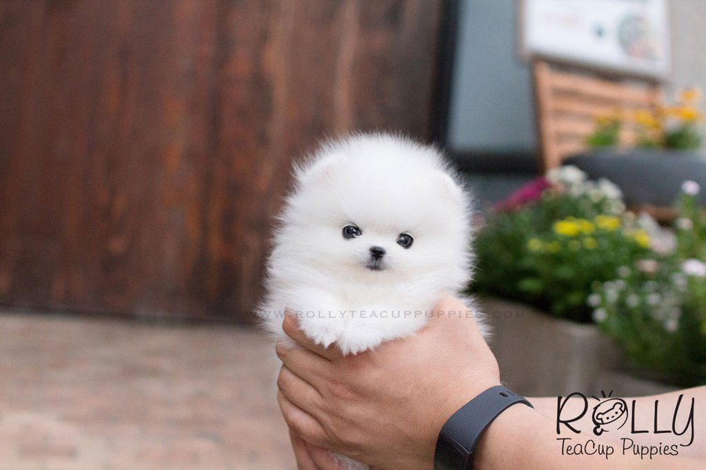 Milly Pomeranian Teacup puppies, Teach dog tricks