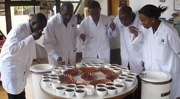 Coffee is indigenous to Uganda. Centuries ago, before coffee was known as a beverage, Ugandan warriors would chew wild coffee beans before going into battle which would stimulate them, give them courage and make them feel invincible.