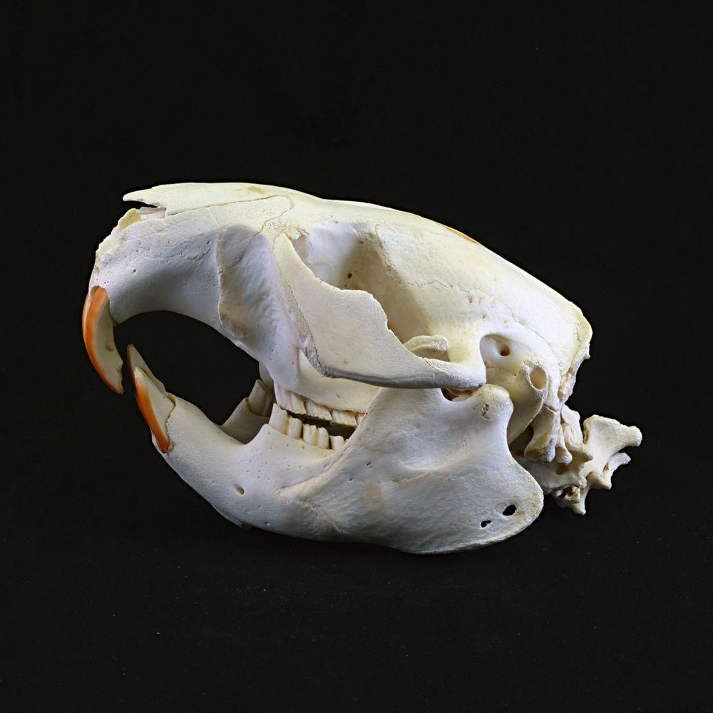 Real Beaver Skull cleaned sanitized and Whitened Canadian   eBay ...