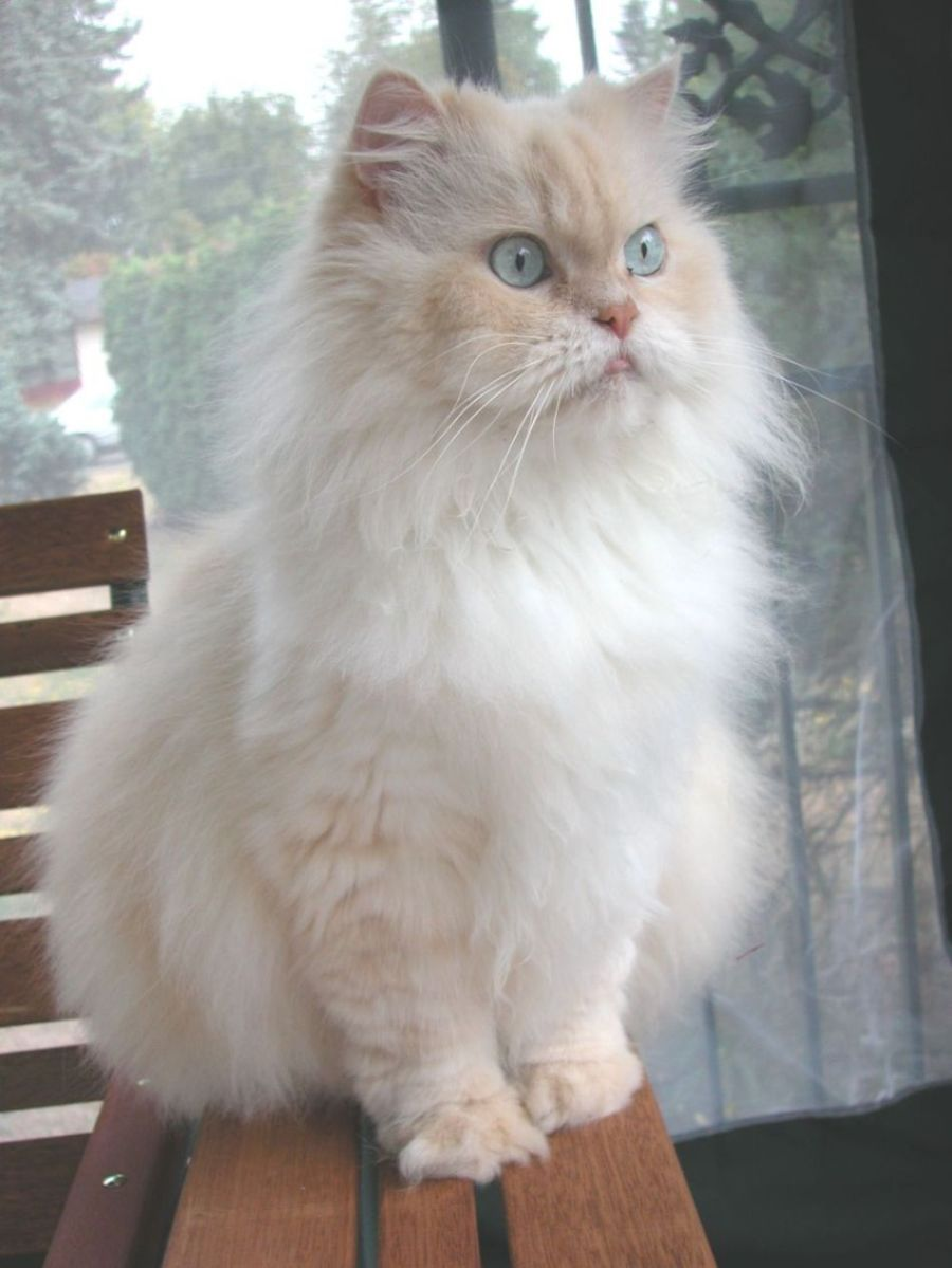 More Persian Cat Info What kind of cat breeds fit you most at