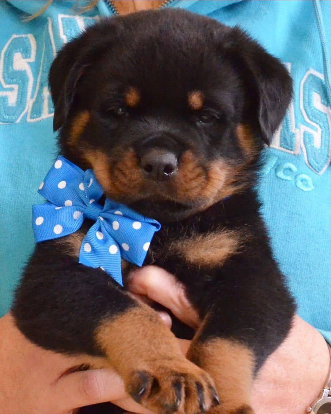 Pin On Rottweiler Fluffy Puppy