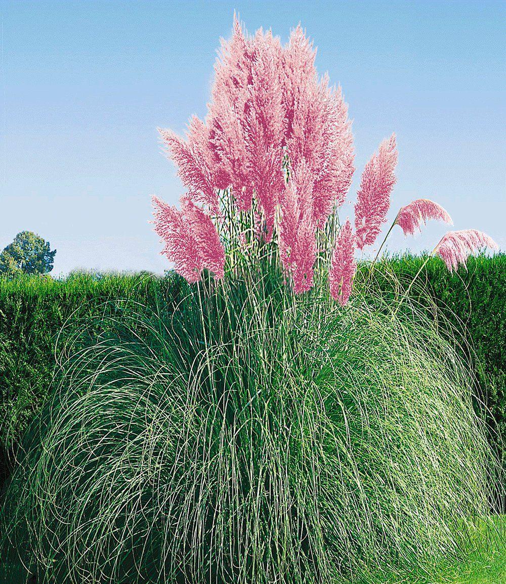 rosa pampasgras | garden ideas | pinterest | pampasgras, rosa und, Gartengerate ideen