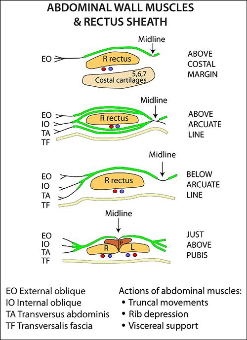 Rectus Sheath Axial Section Abdomen And Pelvis Anatomy